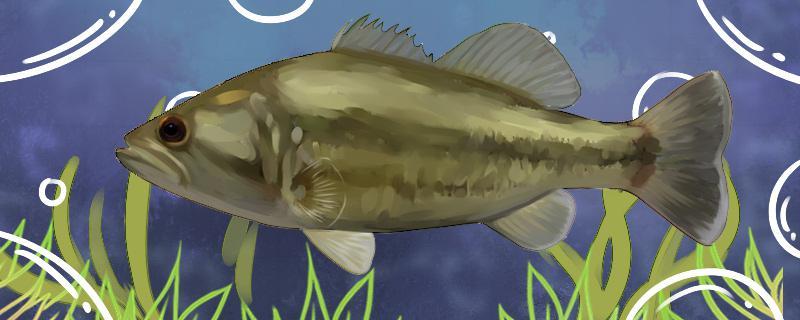 加州鲈鱼苗能养殖吗,养殖方法是什么