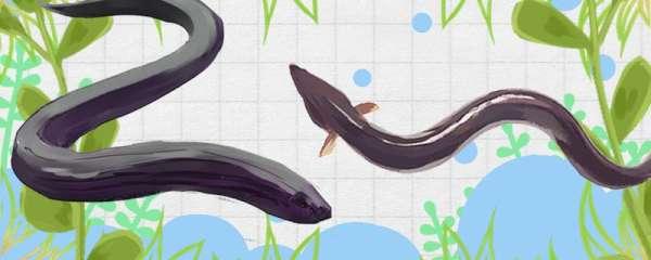 黄鳝是鳗鱼吗,和鳗鱼有什么区别