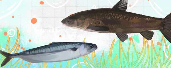 青鱼和鲭鱼是一种鱼吗,有什么区别