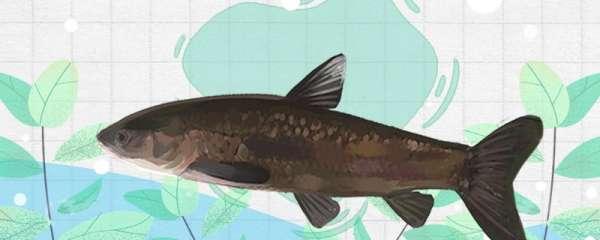 青鱼是海鱼还是淡水鱼,能养殖吗