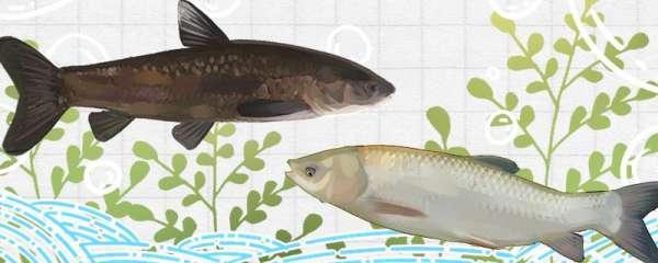 青鱼和脆皖是一种鱼吗,有什么区别