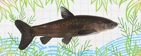 青鱼会吃小鱼吗,能用小鱼喂吗