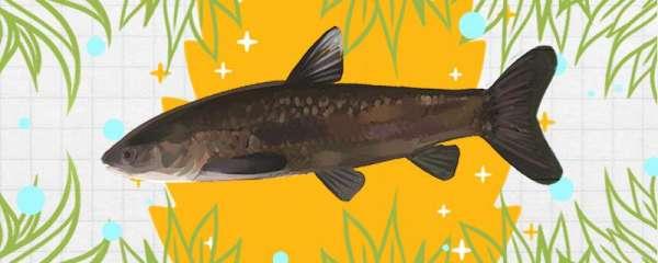 青鱼吃小鱼苗吗,能和鱼苗一起养吗