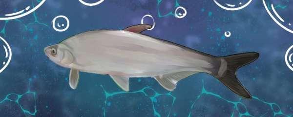 白水鱼刺多吗,和鲫鱼哪个刺多