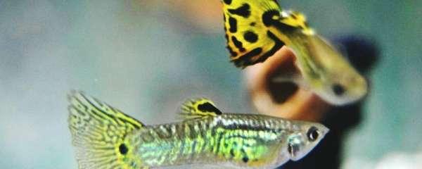 孔雀鱼苗应该如何正确投喂,投喂时应该注意什么