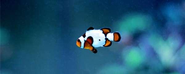 小丑鱼可以和孔雀鱼一起养吗,如何喂养