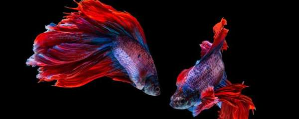泰国斗鱼最低生存温度,如何喂养