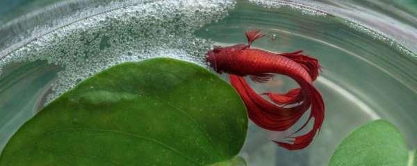 泰国斗鱼能和孔雀鱼一起养吗,可以和什么鱼混养