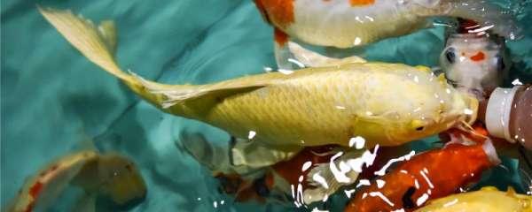 冬天锦鲤鱼怎么养,冬季南方和北方的注意事项