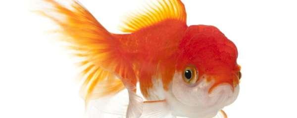 金鱼是如何繁殖的,繁殖时需要注意什么