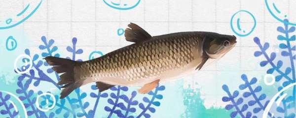 怎样钓草鱼,钓草鱼的方法技巧介绍