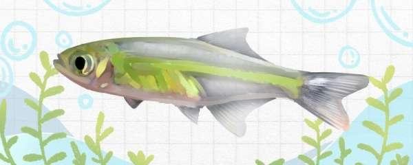 绿晶灯鱼好养吗,怎么养