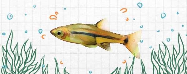 索姆三角灯鱼好养吗,怎么养