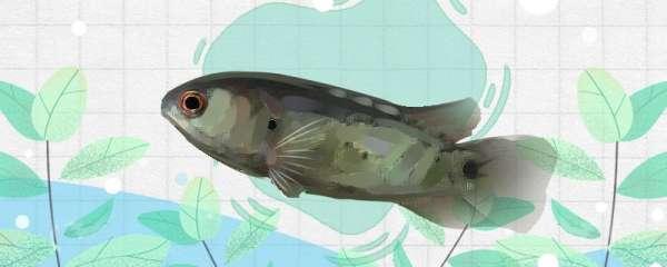 攀木鱼好养吗,怎么养