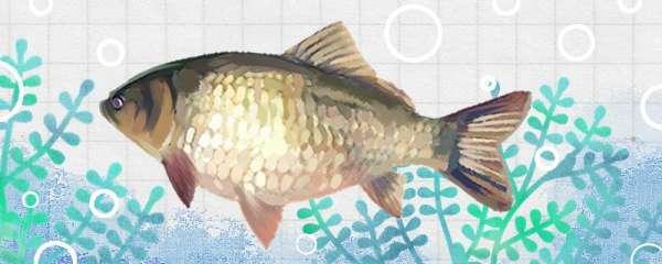 鲫鱼是淡水鱼吗,能养殖吗
