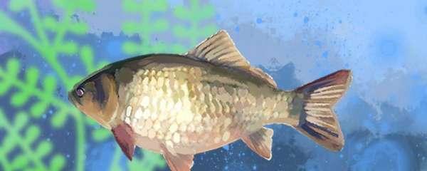 冬天养鲫鱼放多少水,要不要喂食
