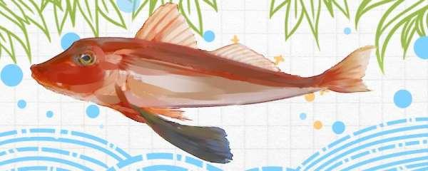 红头鱼是海鱼还是淡水鱼,生活在哪里