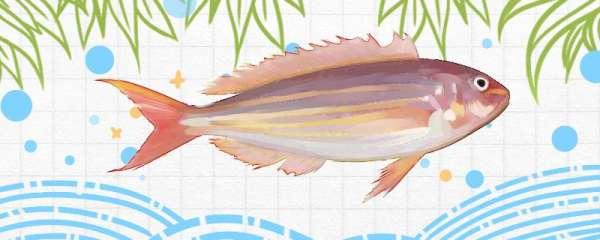 金线鱼是什么鱼,生活在哪里