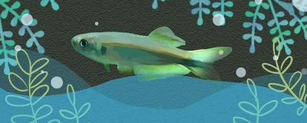 三色灯鱼好养吗,怎么养