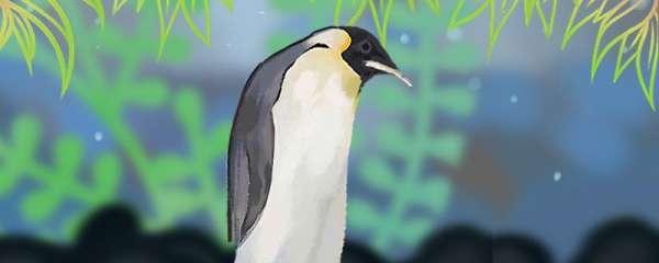 企鹅有膝盖吗,有羽毛吗