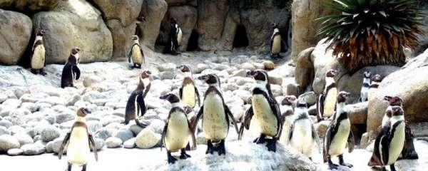 企鹅的家在哪里,能离开南极吗