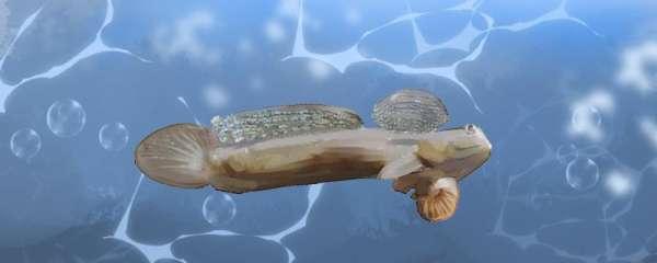 跳跳鱼是淡水鱼还是海水鱼,能养殖吗