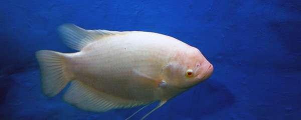 热带鱼腹水怎么治,为什么会得腹水