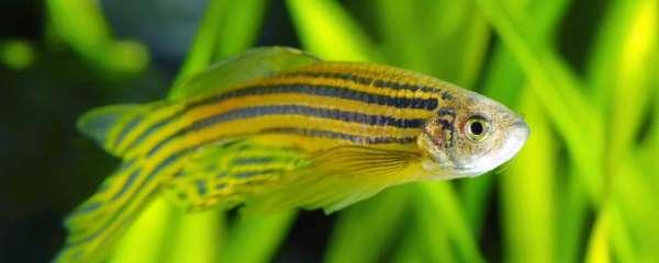绿斑马鱼是染色吗,这种鱼怎么养
