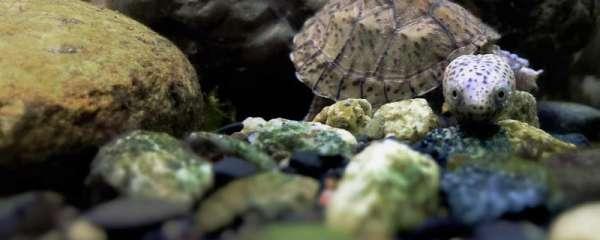 小乌龟冬天干养还是水养好,冬眠有哪些好处