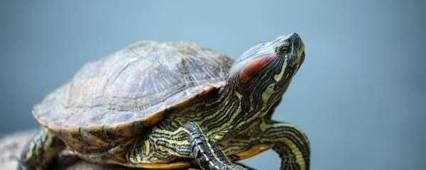 乌龟都有什么品种,什么龟适合新手