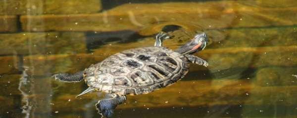 乌龟可以吃猪肉吗,乌龟不能吃什么