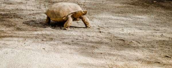 乌龟可以吃火腿肠吗,给乌龟喂食要注意什么