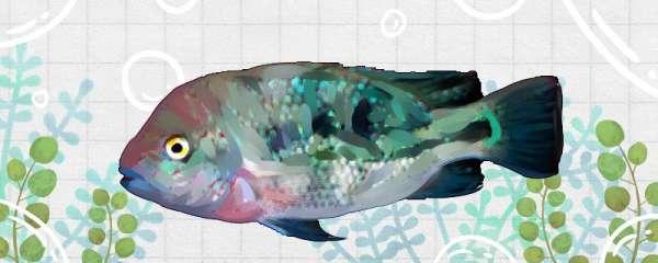 血流星火口鱼好养吗,怎么养