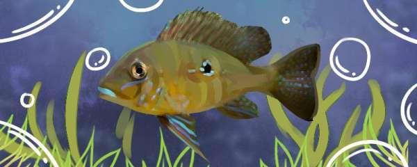 亚奎罗斯提卡鱼好养吗,怎么养
