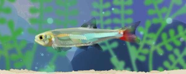 焰尾灯鱼好养吗,怎么养