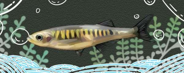 紫金斑马鱼好养吗,怎么养