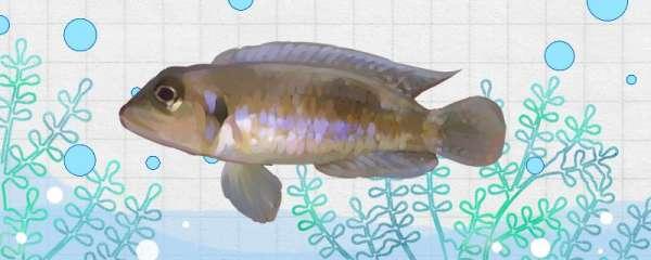 紫蓝叮当鱼好养吗,怎么养