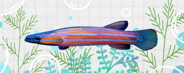 扁平头鲈鱼好养吗,怎么养