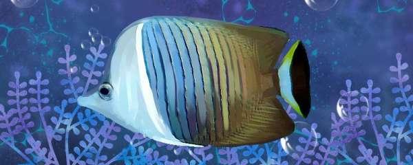 白面蝴蝶鱼好养吗,怎么养