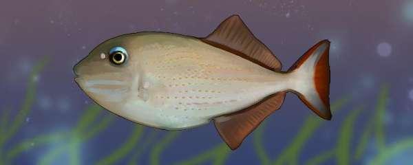 凹纹炮弹鱼好养吗,怎么养
