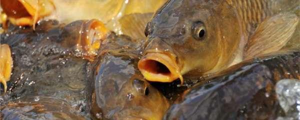 冰钓鲤鱼怎样找鱼窝,需要打窝吗