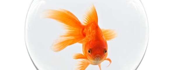 金鱼用不用吃东西,不吃东西能活多久