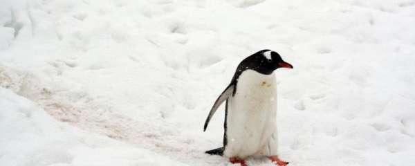 企鹅有翅膀吗,能飞吗