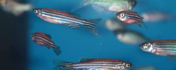斑马鱼不隔离会不会产卵,产卵需要准备什么