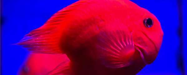 鹦鹉鱼变黑的原因是什么,多久能变回来