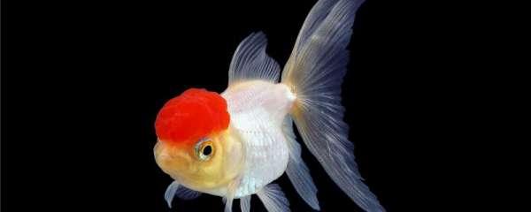 金鱼喂食后翻肚是什么原因,怎么治疗