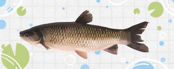 钓草鱼用几号鱼钩,用几号鱼线