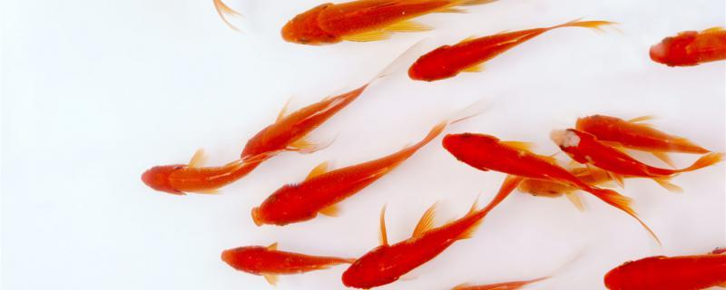 新买的金鱼为什么一直沉在水底,怎么办
