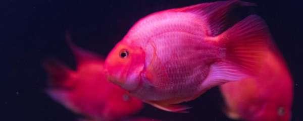 鹦鹉鱼身上长黑斑是怎么回事,怎么办