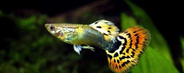 孔雀鱼爱跳缸是怎么了,怎么解决